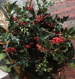 Holly for sale at Fressingfield